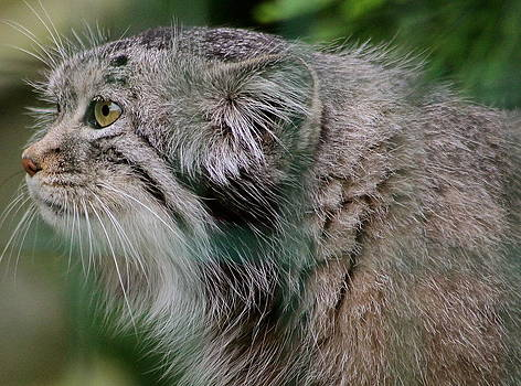 Pallas Cat by Karen Grist