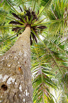 Palm tree from below with coconut fruit by Anya Brewley schultheiss
