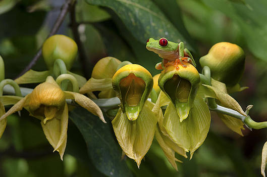 Panama Frog World by Paul Bratescu