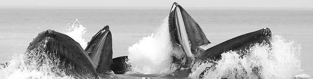 Darcy Michaelchuk - Panoramic Hungry Humpbacks