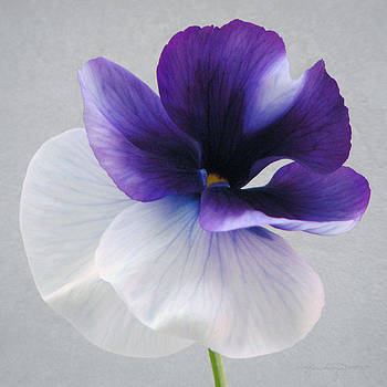 Pansy Glow II by Karen Casey-Smith