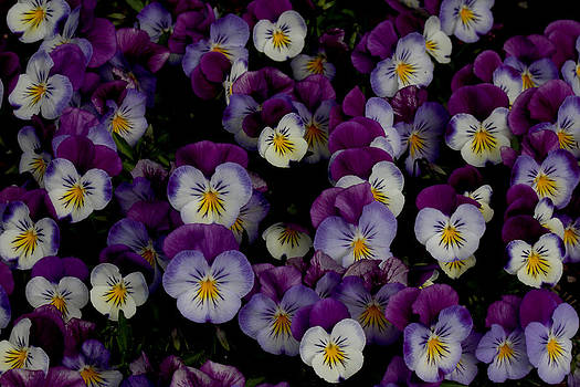 Pansy Patch - 1 by Robert Morin