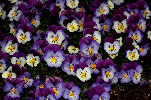 Pansy Patch - 2 by Robert Morin