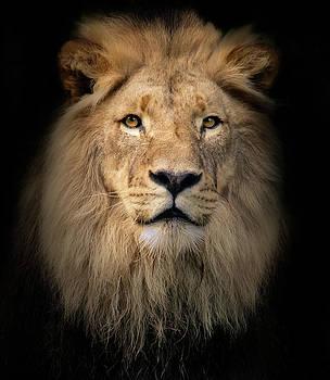 Panthera Leo by Animus Photography