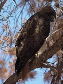 Papa Hawk by Davon Duncan