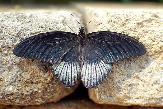 Papilio lowii by Floyd Menezes