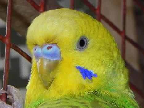 Parakeet inside cage by Arindam Raha
