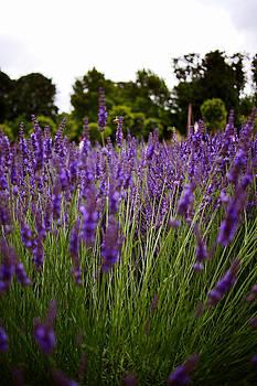 Parisian Lavender Fields by Kelsey Horne