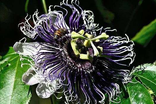 Passiflora Inspiration by Larry Parker