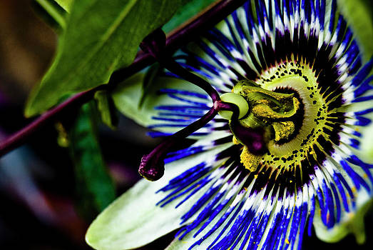 Passion Flower by Grebo Gray