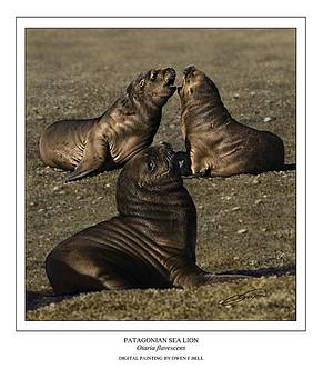 Patagonian Sea Lion Pups by Owen Bell