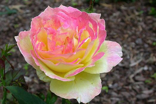 Peace Rose by Jim Ziemer