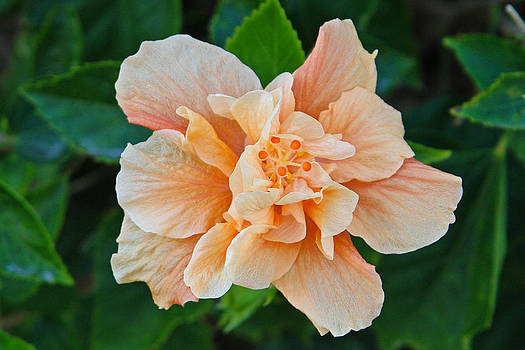 Carmen Del Valle - Peach Bloom Hibiscus