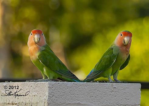 Steve Knievel - Peach Faced Love Bird Parrot 1