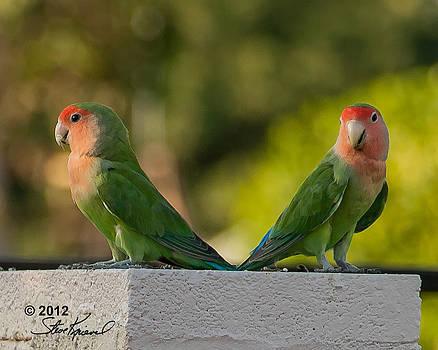 Steve Knievel - Peach Faced Love Bird Parrot 14