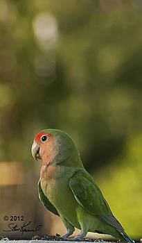 Steve Knievel - Peach Faced Love Bird Parrot 19