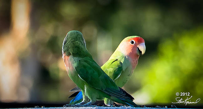 Steve Knievel - Peach Faced Love Bird Parrot 21