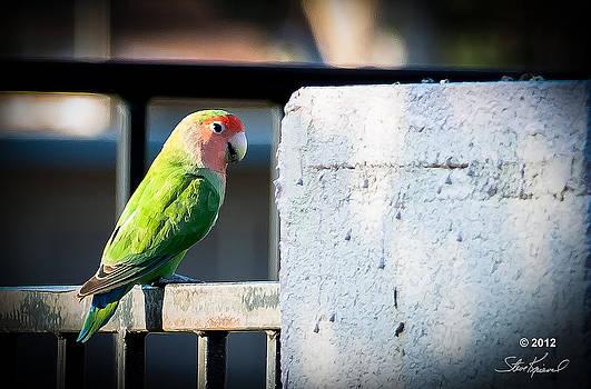 Steve Knievel - Peach Faced Love Bird Parrot 22
