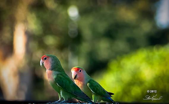 Steve Knievel - Peach Faced Love Bird Parrot 24