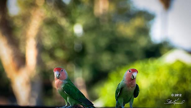 Steve Knievel - Peach Faced Love Bird Parrot 26