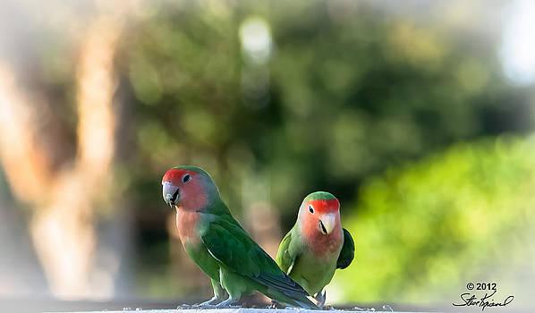 Steve Knievel - Peach Faced Love Bird Parrot 27