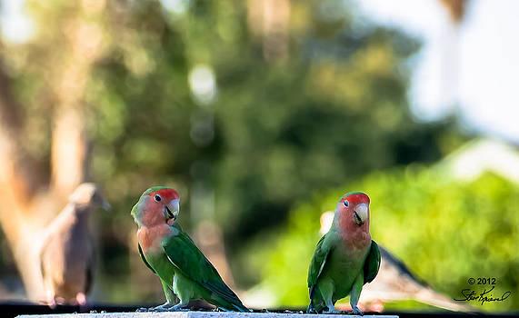 Steve Knievel - Peach Faced Love Bird Parrot 30