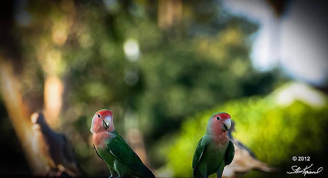 Steve Knievel - Peach Faced Love Bird Parrot 31