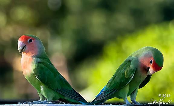 Steve Knievel - Peach Faced Love Bird Parrot 36