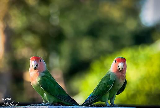 Steve Knievel - Peach Faced Love Bird Parrot 37