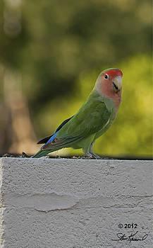 Steve Knievel - Peach Faced Love Bird Parrot 4