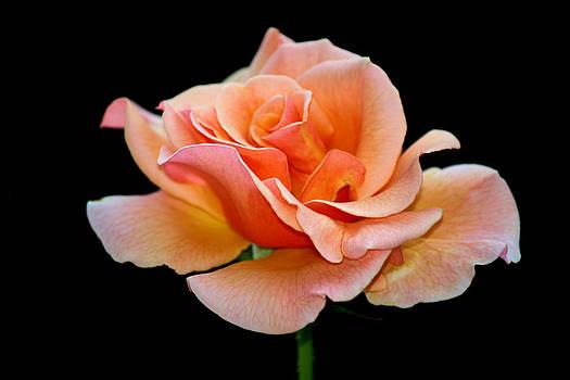 Karen Scovill - Peach Rose