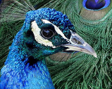 Peacock 2 by Jesus Nicolas Castanon