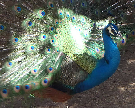 Kathy Peltomaa Lewis - Peacock Bathing in Sun