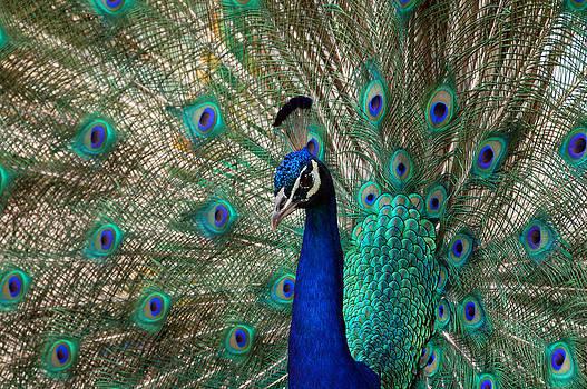 Peacock Bird Dance by Bhupendra Singh