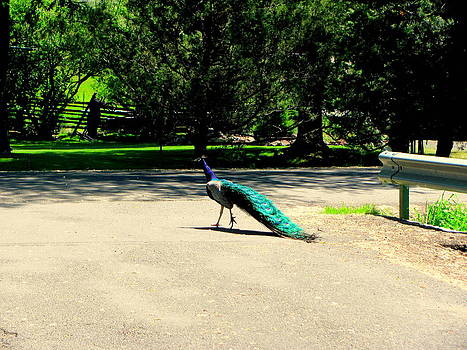 Peacock Crossing Road by Amy Bradley