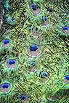 Peacock Feathers by Jen Morrison
