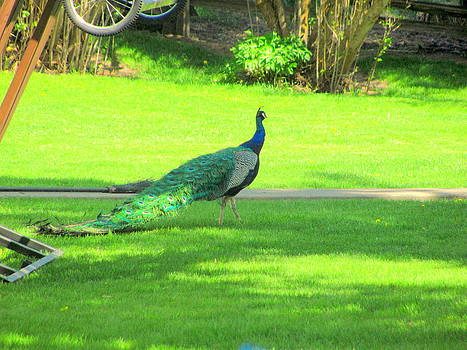 Peacock In Yard by Amy Bradley