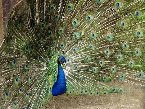 Peacock by Jim Koniar