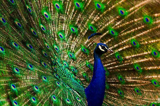 Matt Dobson - Peacock