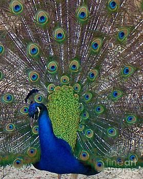 Peacock by Melanie Snipes