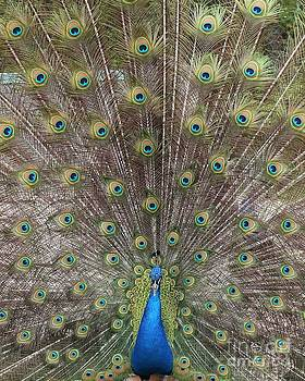 Peacock Perfection by Scenesational Photos
