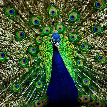 Matt Dobson - Peacock Portrait - Pavo cristatus