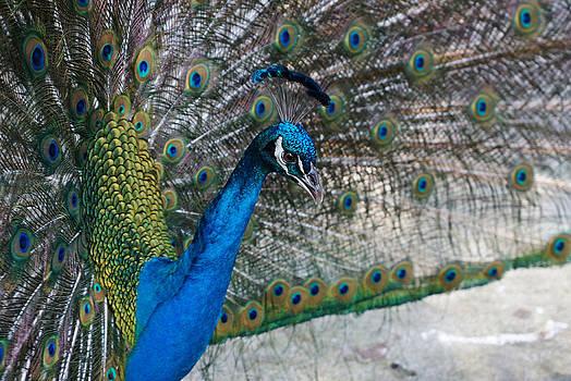 Carmen Del Valle - Peacock Show Off