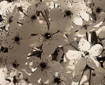 TONY GRIDER - Pear Blossoms in Sepia