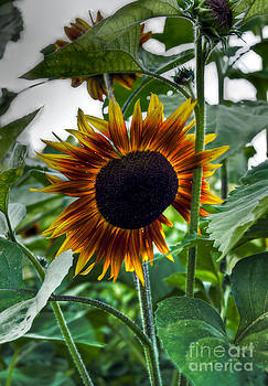 Brenda Giasson - Peek a Boo Sunflower