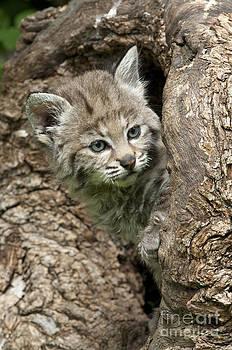 Sandra Bronstein - Peeking Out - Bobcat Kitten
