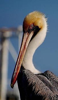 Pelican by Ama Arnesen