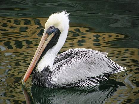 Pelican by Gina Hulse