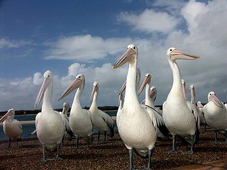 Pelican Mob by Michael Clarke JP