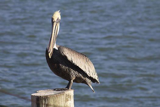 Pelican Project 2 by Bridget Finn